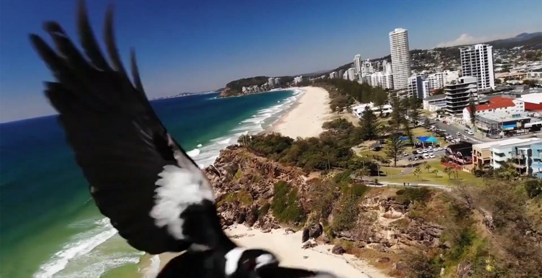 magpie drone photo